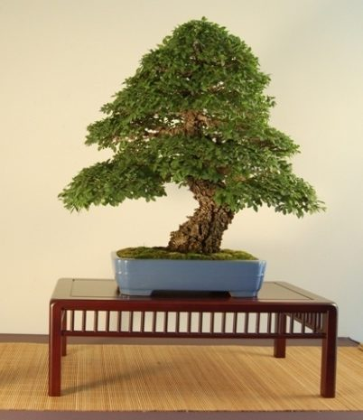 bonsai_di_zelkova