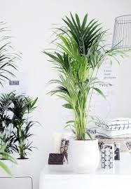 piante da salotto la kentia